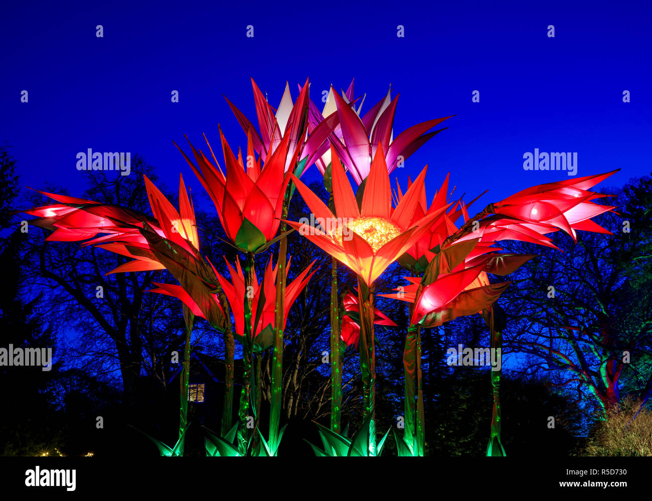 Wisley, Surrey, UK, 30 November 2018.  30th November 2018. The daily light installations returns to Wisley from 1 December until Wednesday 2 January 2019 from 4pm - 8pm.  Back for its fourth year, Christmas Glow guides visitors around a new route for 2018, taking in locations including the Rock Garden, the Seven Acres lake and the Jellicoe Canal. Jigantics, designers of cultivated illumination, will this year bring a number of brand new blooms to Wisley, including arches of gladioli over the new Wisteria Walk and a bouquet of alliums on Seven Acres. Credit: Oliver Dixon/Alamy Live News - Stock Image