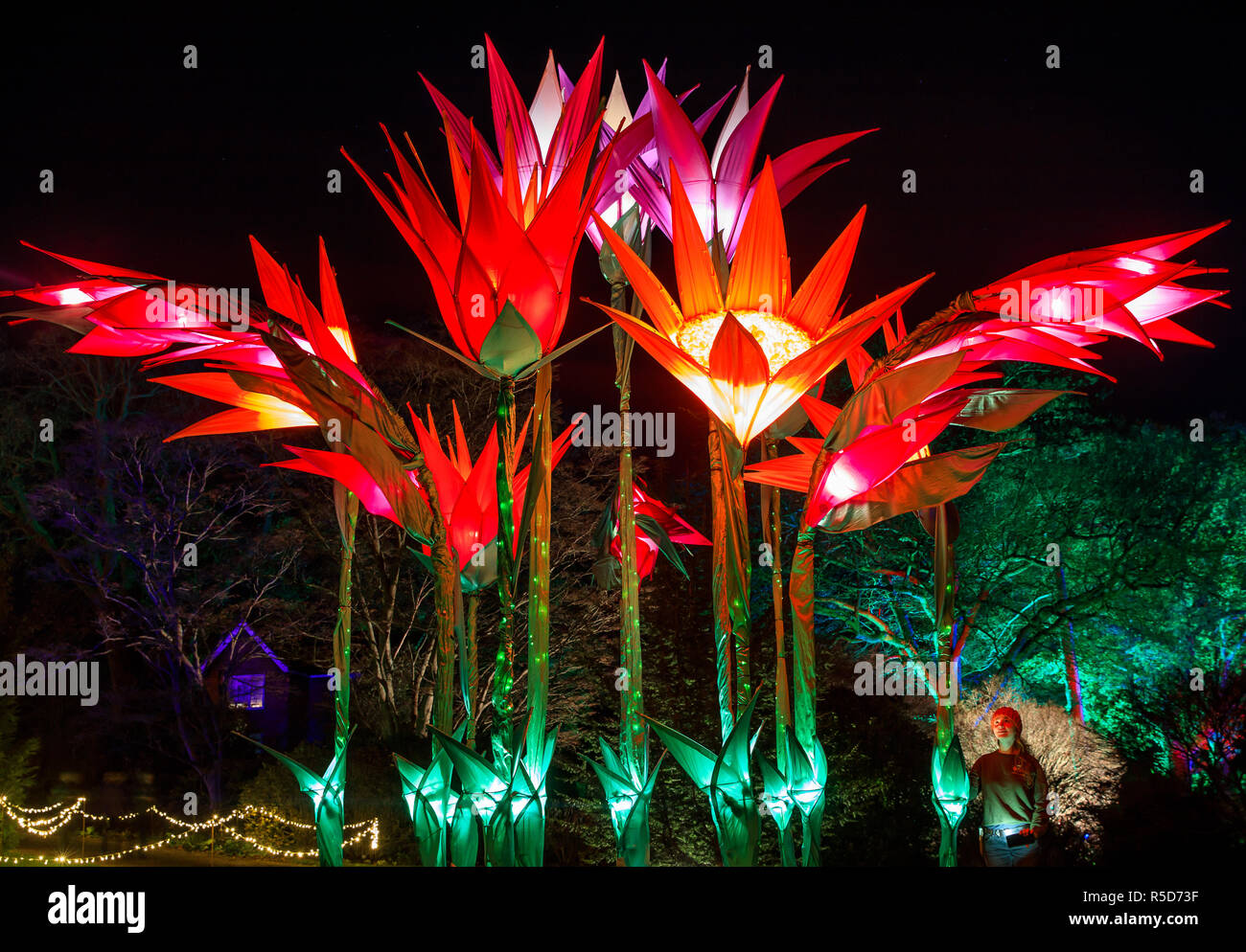 Wisley, Surrey, UK, 30 November 2018.  30th November 2018. Naomi Trenier, 31 from Surrey pictured admiring the display of flowers.  The daily light installations returns to Wisley from 1 December until Wednesday 2 January 2019 from 4pm - 8pm.  Back for its fourth year, Christmas Glow guides visitors around a new route for 2018, taking in locations including the Rock Garden, the Seven Acres lake and the Jellicoe Canal. Credit: Oliver Dixon/Alamy Live News - Stock Image