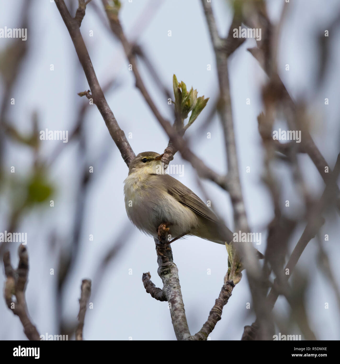 Garden warbler ( Sylvia borin) singing in a tree, a regular summer visitor to the UK. - Stock Image