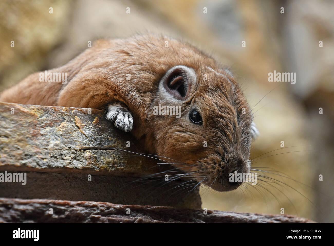 Close up portrait of African Gundi comb rat - Stock Image