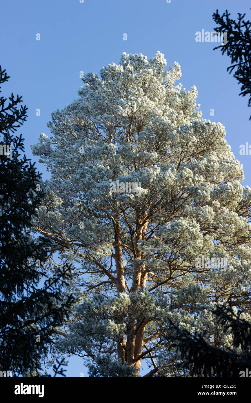 Frosted pine tree early in the morning. Sigtuna, Sweden - Stock Image