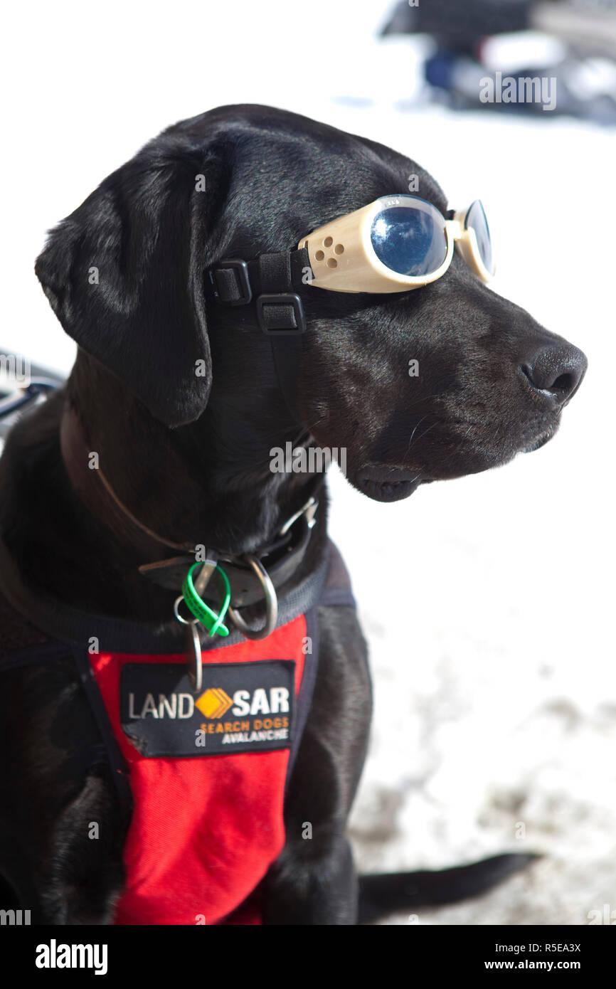 Alpine Search & Rescue Dog, Treble Cone, Wanaka, Central Otago, South Island, New Zealand - Stock Image