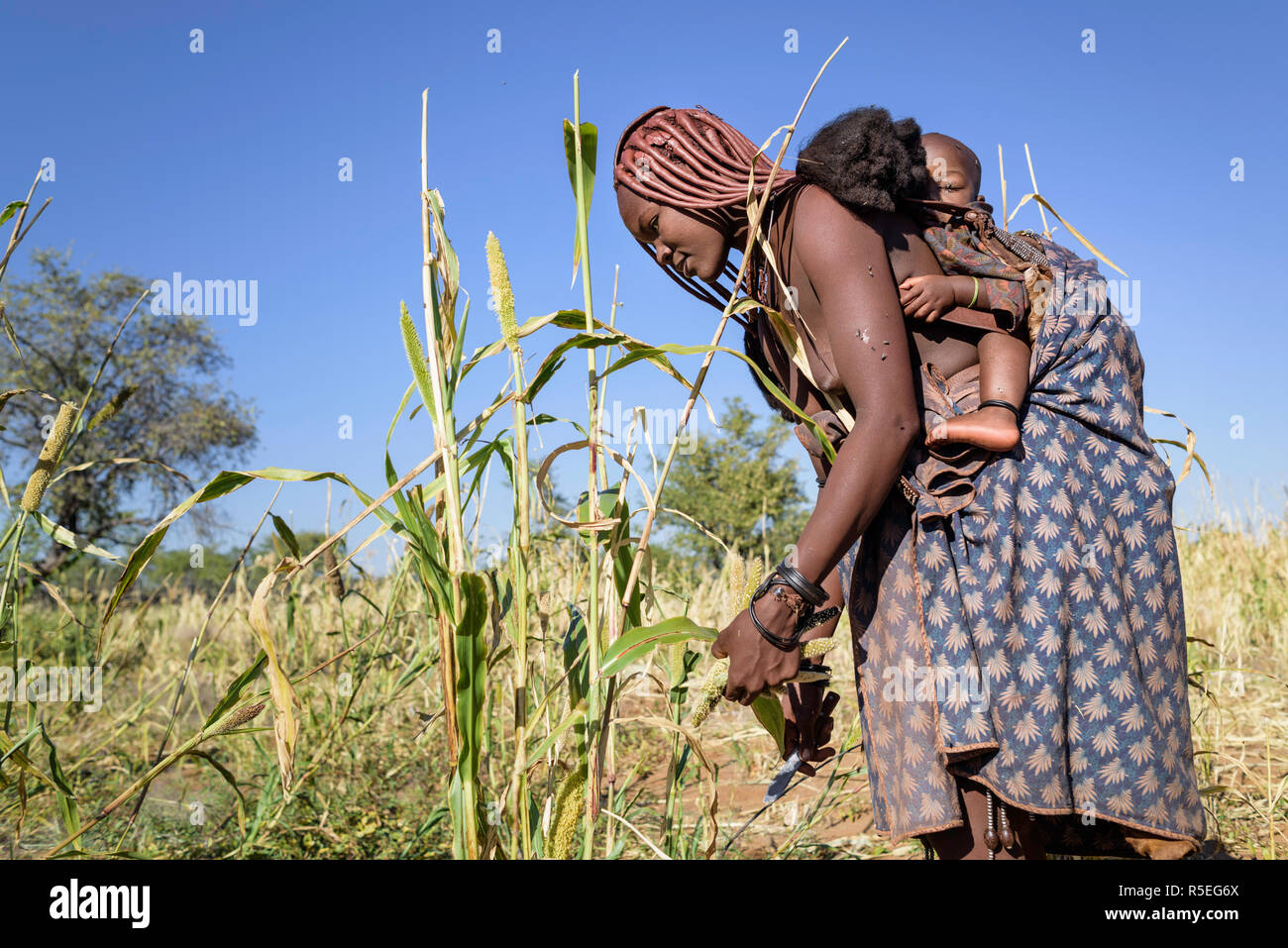 Himba woman harvesting millet with her child on her back. - Stock Image
