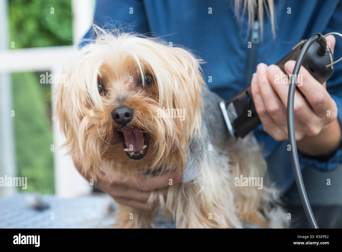 Grooming Yorkshire Terrier Dog Has Open Mouth Stock Photo