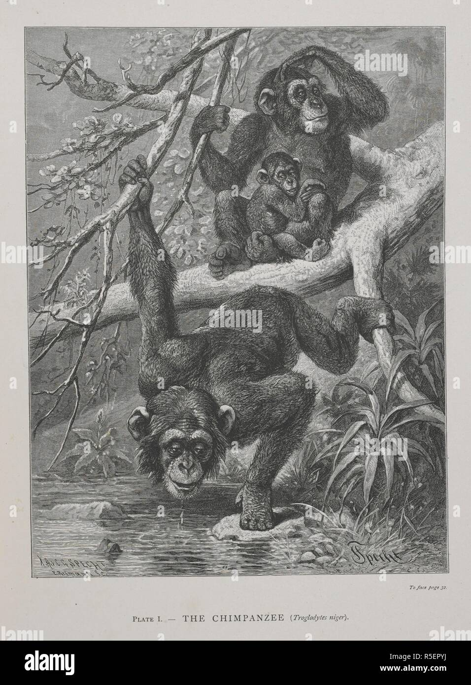 The Chimpanzee. The Geographical Distribution of Animals, with a study of the relations of living and extinct faunas as elucidating the past changes of the earth's surface. ... . London, 1876. Source: 07209.dd.1 plate 1. Author: WALLACE, ALFRED RUSSEL. - Stock Image