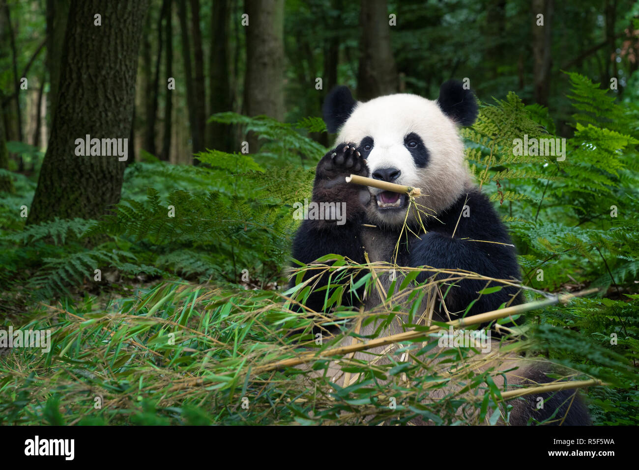 panda bear is sitting in the forest eating bamboo - Stock Image