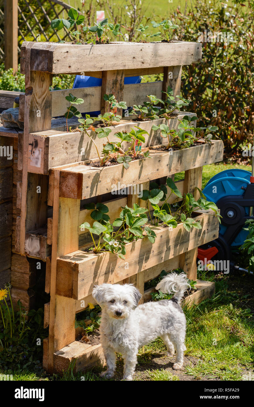 euro pallet as raised bed with strawberries Stock Photo
