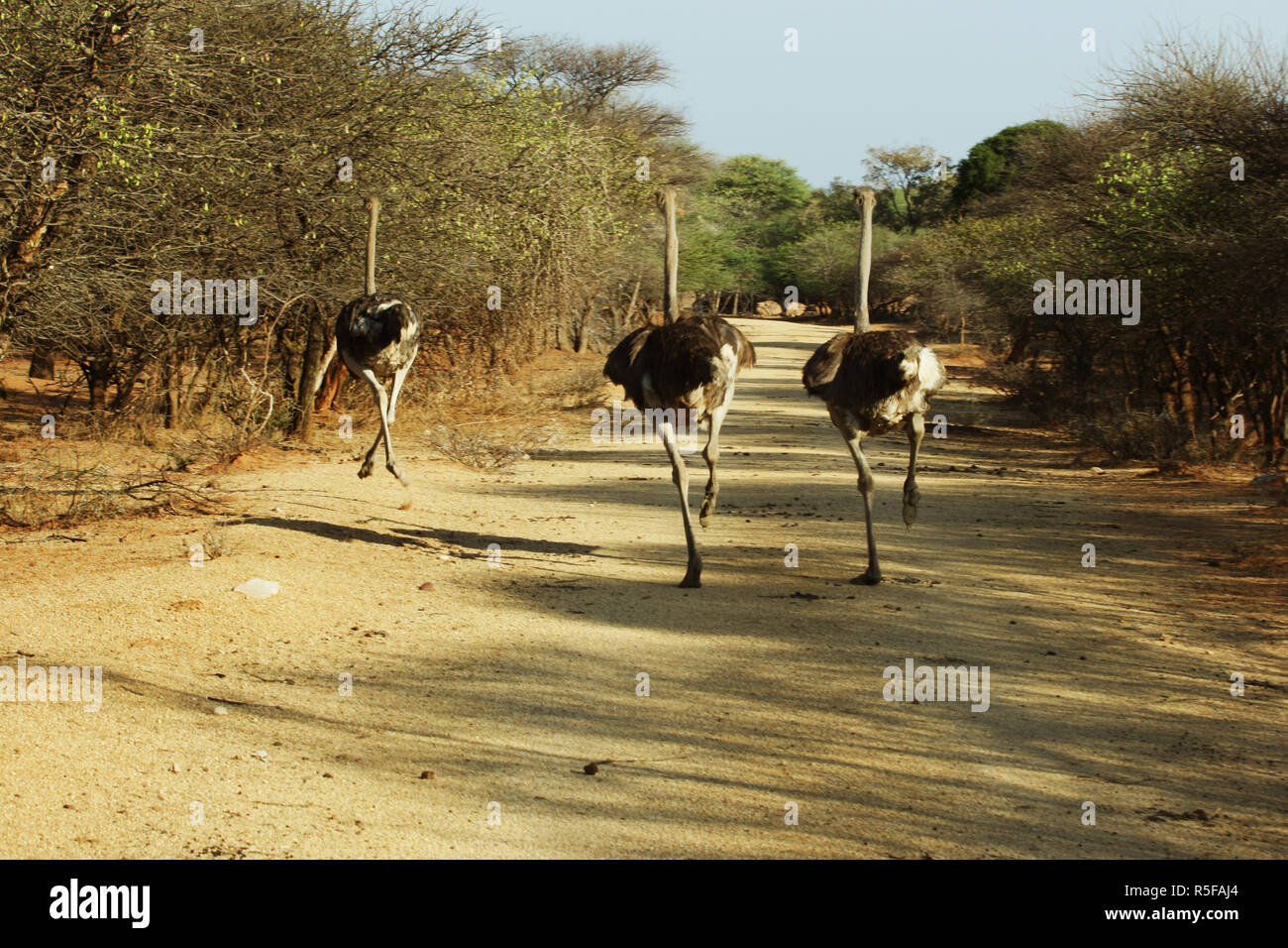 three ostriches running on the road in Africa - Stock Image