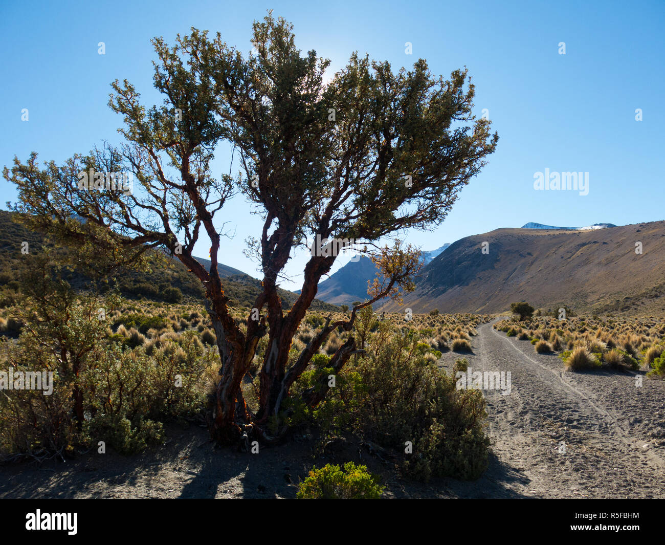 Quenoa forest, Polylepis tarapacana, the only vegetation that grows at 4000 meters altitude. It is considered one of the highest forests of the world. - Stock Image