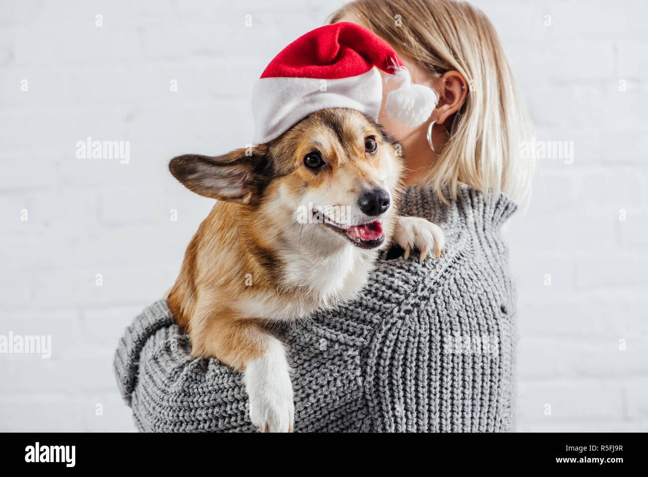 74e2d674 girl in grey sweater holding cute pembroke welsh corgi dog in santa hat on  white