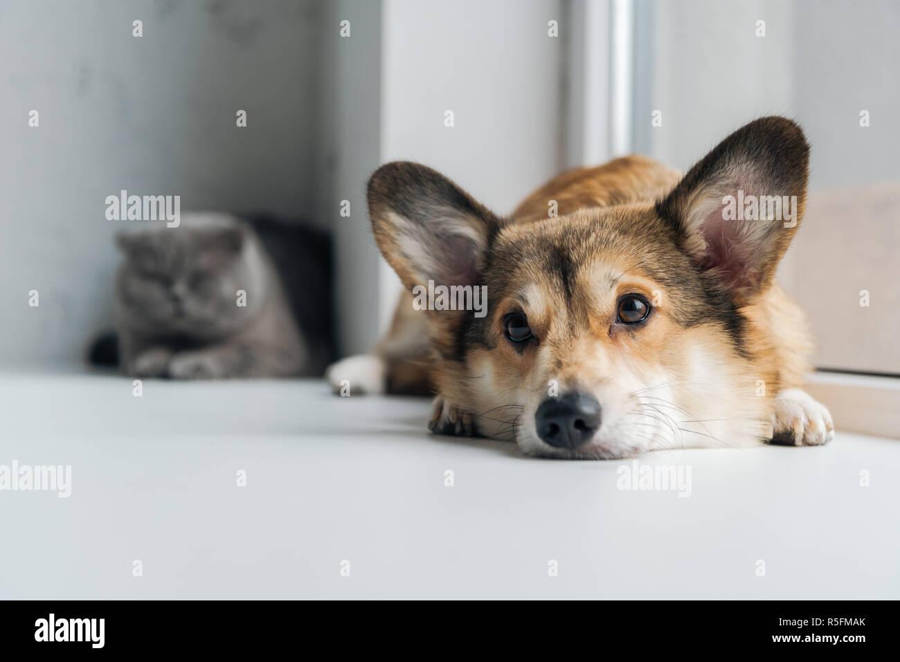 adorable scottish fold cat and corgi dog lying on windowsill together Stock Photo