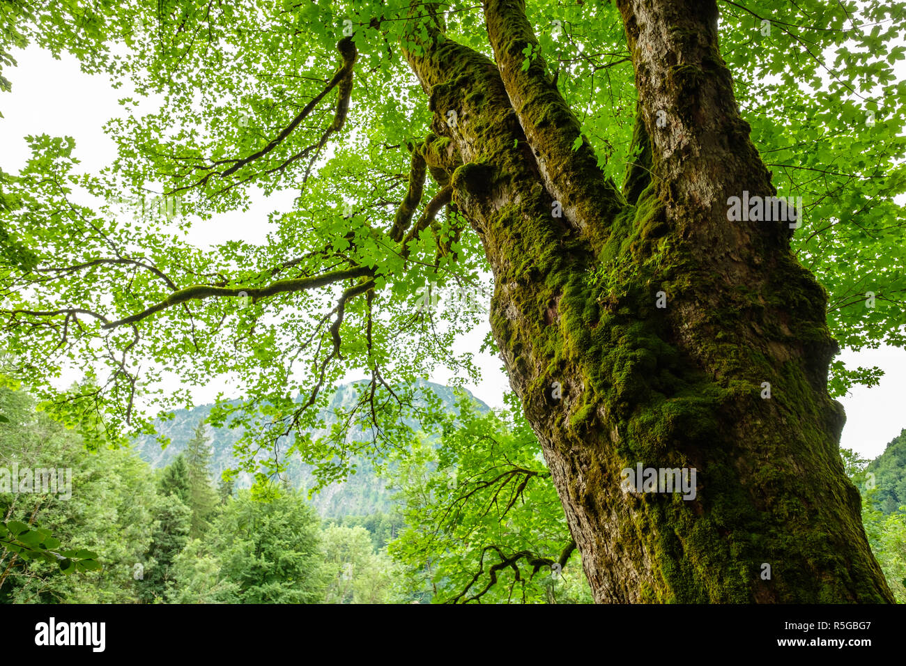 old tree with moss and knotty branches - Stock Image
