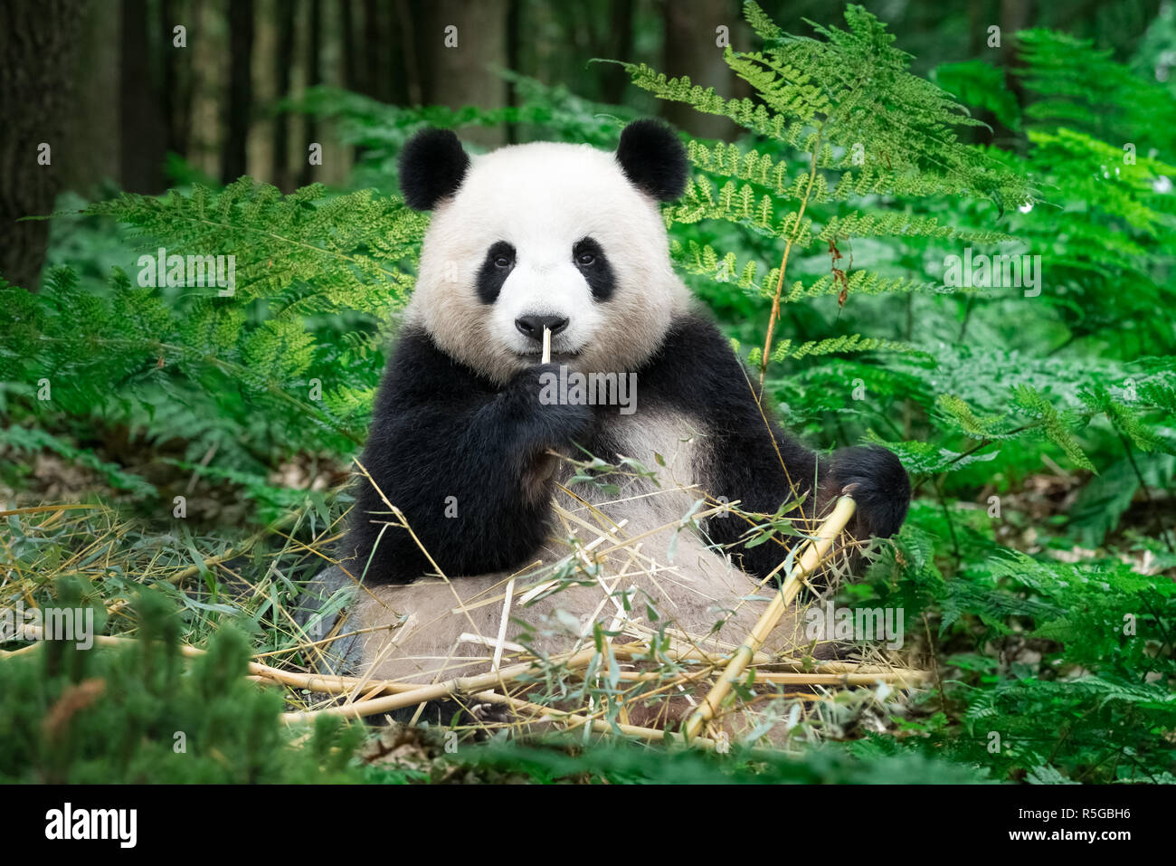 panda is sitting in the rainforest eating bamboo - Stock Image