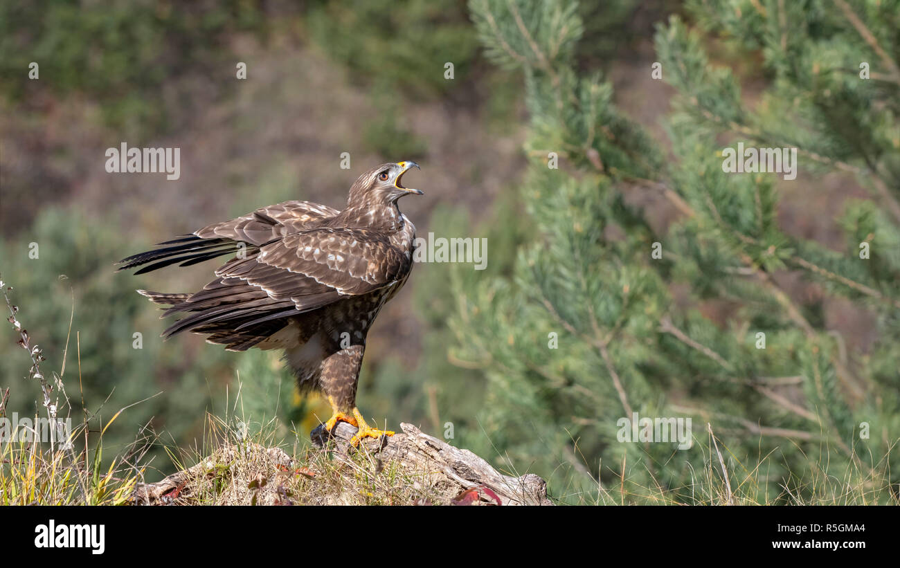 Steppe buzzard (Buteo buteo), stands on dead wood and calls, Tyrol, Austria - Stock Image