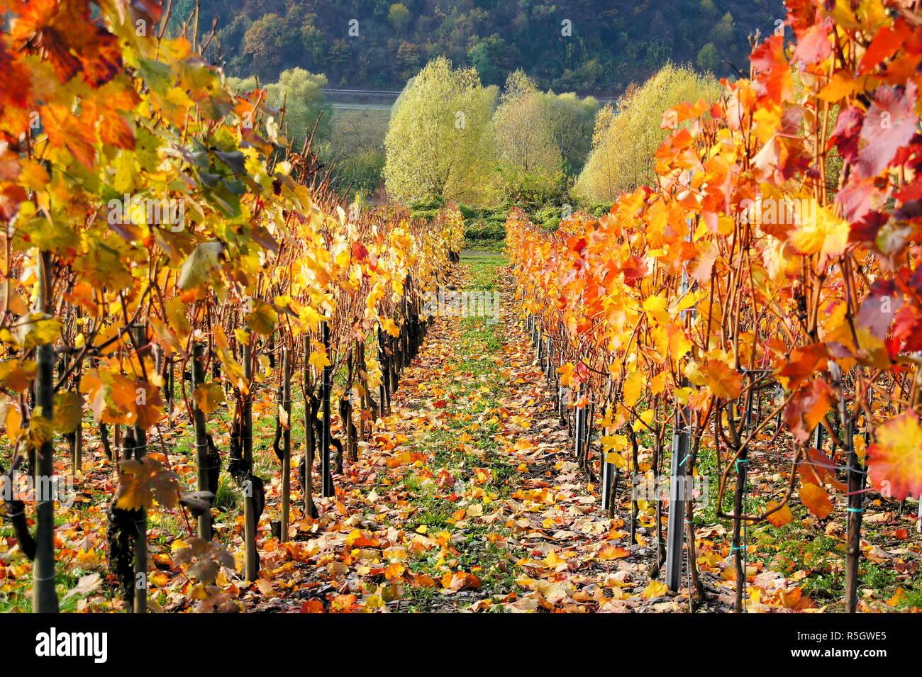 autumnal red wine grapesrn Stock Photo