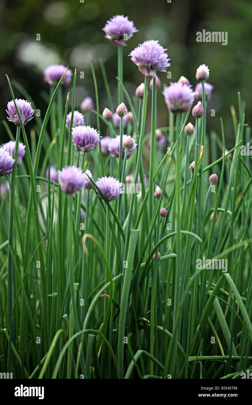 a bush of chives in the garden Stock Photo