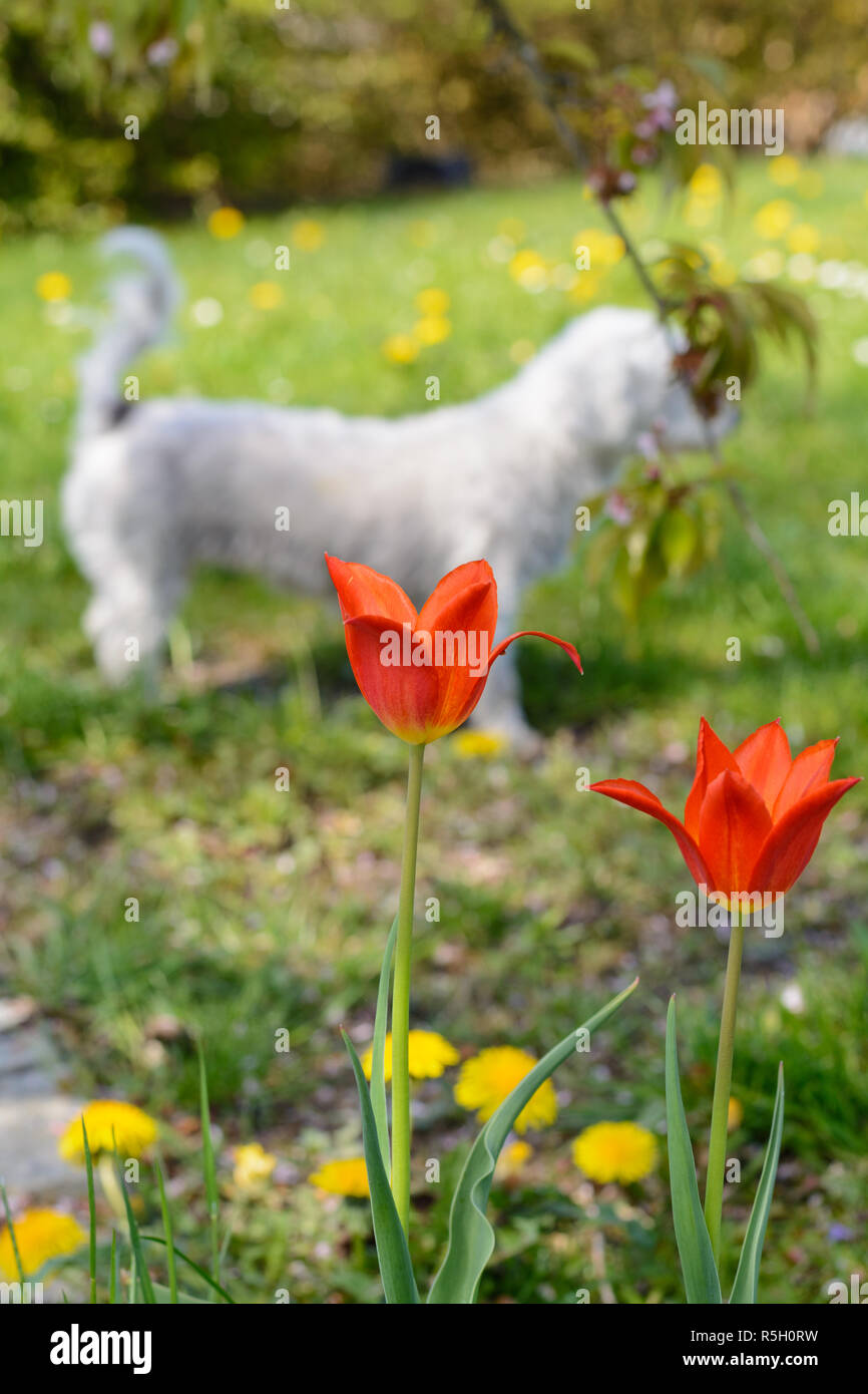 red tulips,dandelions and little dog Stock Photo
