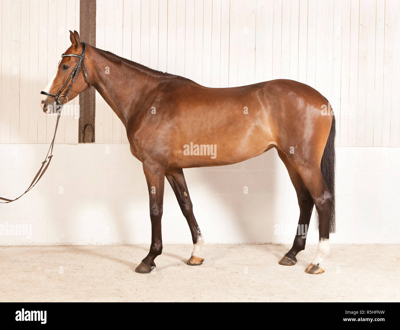 horse physique - Stock Image