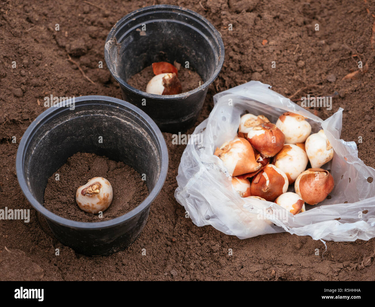 Tulip bulbs being planted in plastic pots to protect them against rodents. - Stock Image