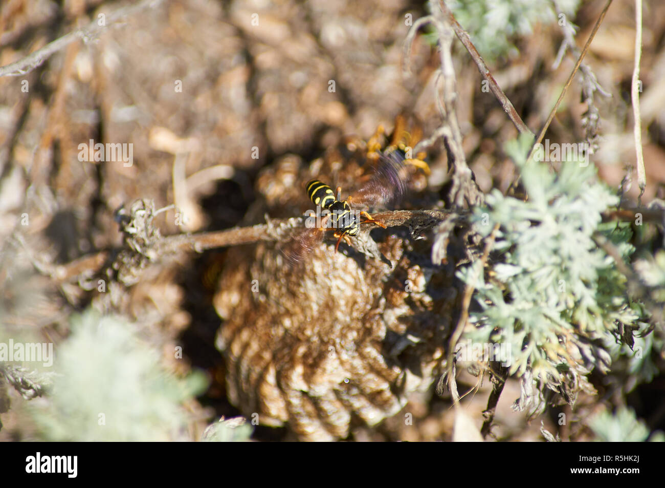 Common wasp (vespula vulgaris) in the heat cools its nest with the help of wings. - Stock Image