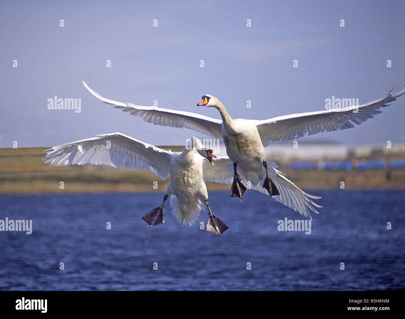 Mute swans in a territorial dispute on a small Aberdeenshire loch in Scotland. Stock Photo