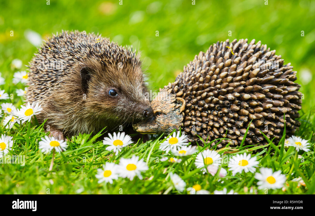 Hedgehog, wild, native, European hedgehog in natural garden habitat inspecting a hedgehog ornament.  Green grass and bright white daisies. - Stock Image