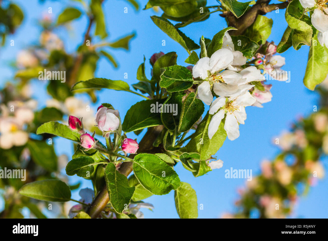 blooming apple tree - Stock Image