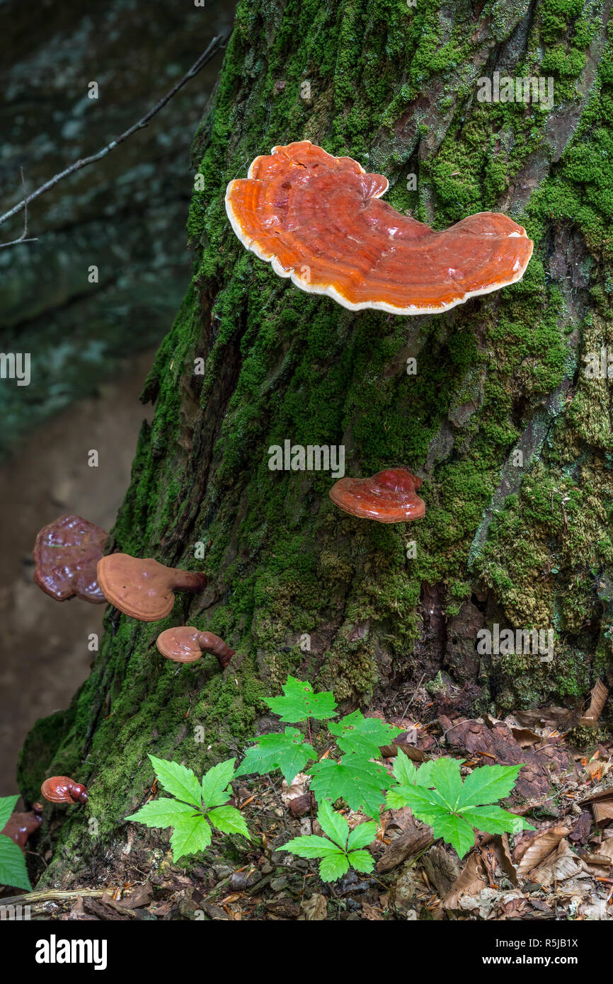 Hemlock varnish shelf is a shiny mushroom fungus found growing in the woods of the American Midwest. Stock Photo