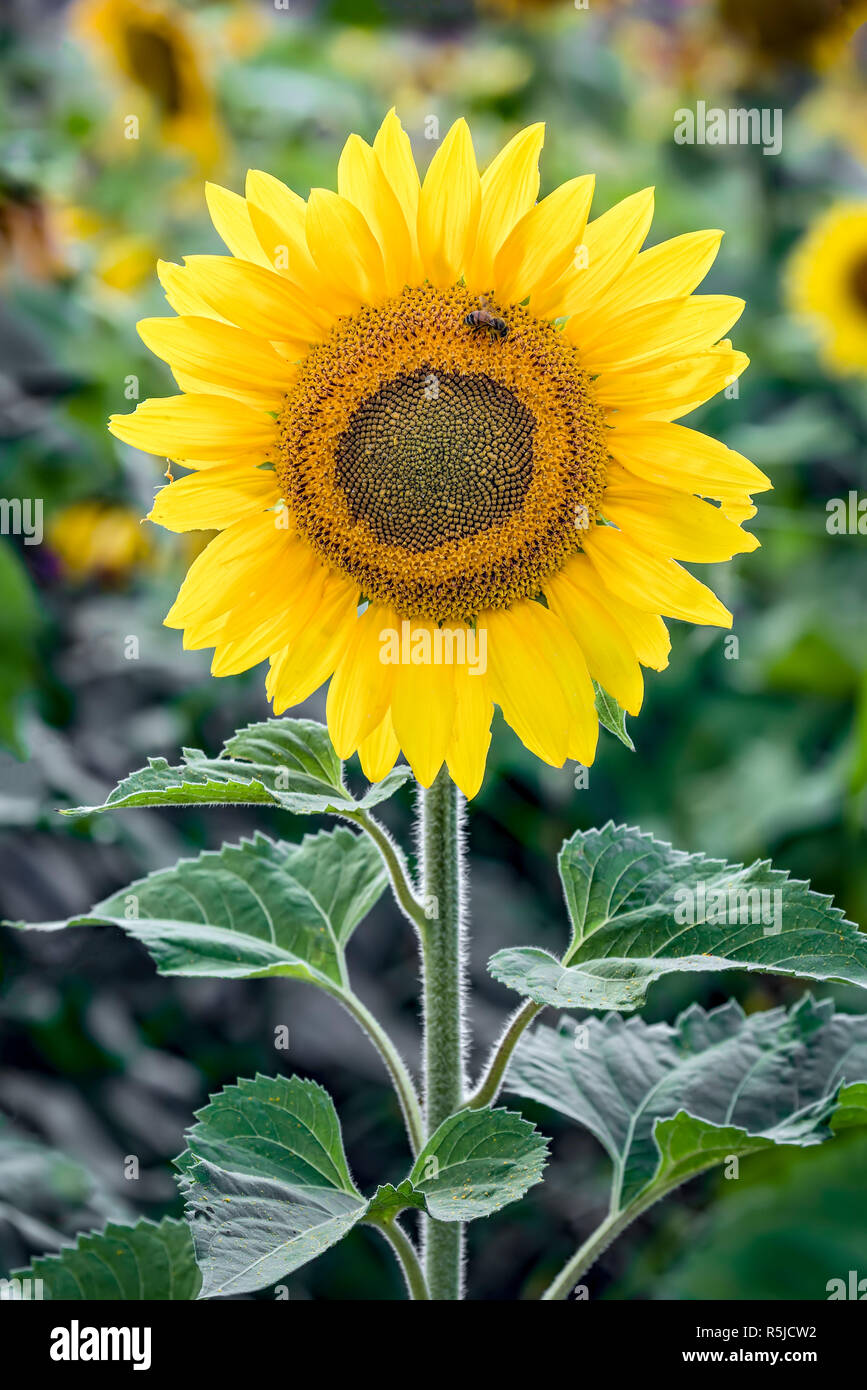 A sunflower glows, back-lit by the afternoon sun. Stock Photo