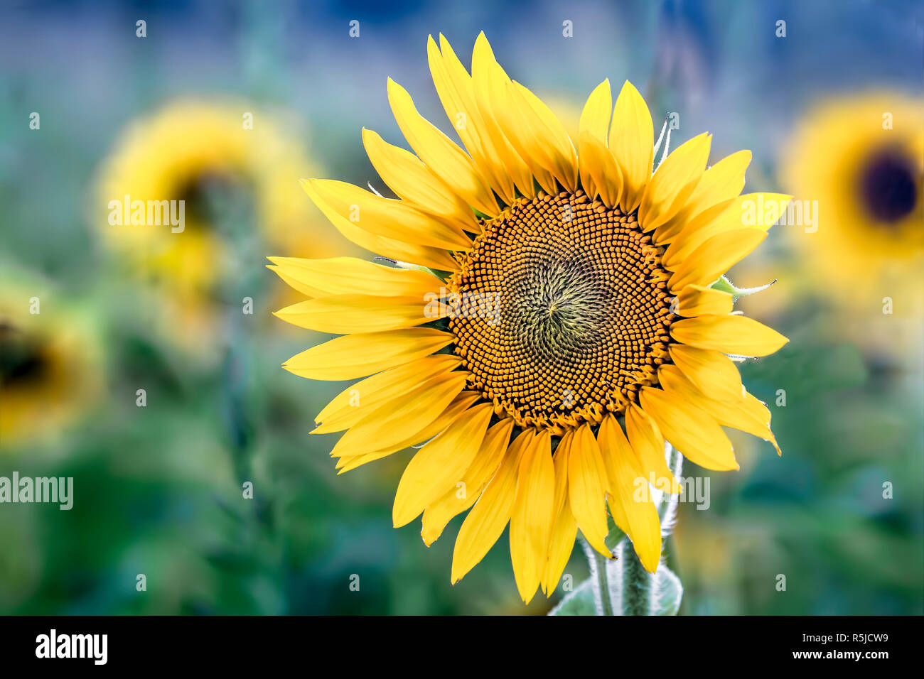 A beautiful sunflower blooms in a field on a bright, sunny day in the Midwest. Stock Photo