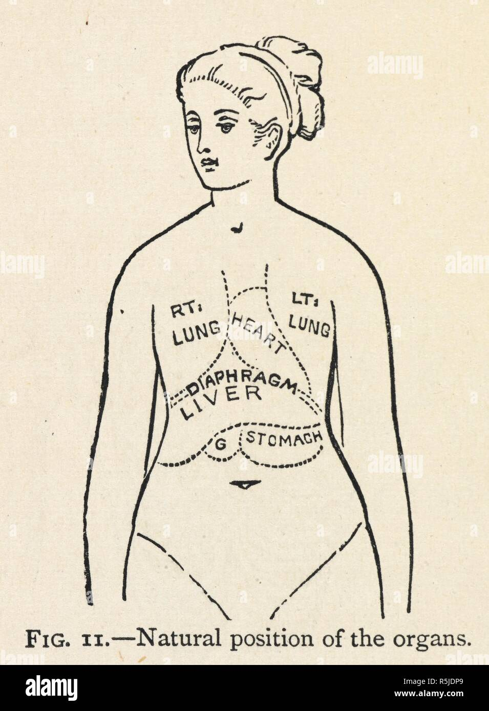 a simple diagram of some internal organs of a woman