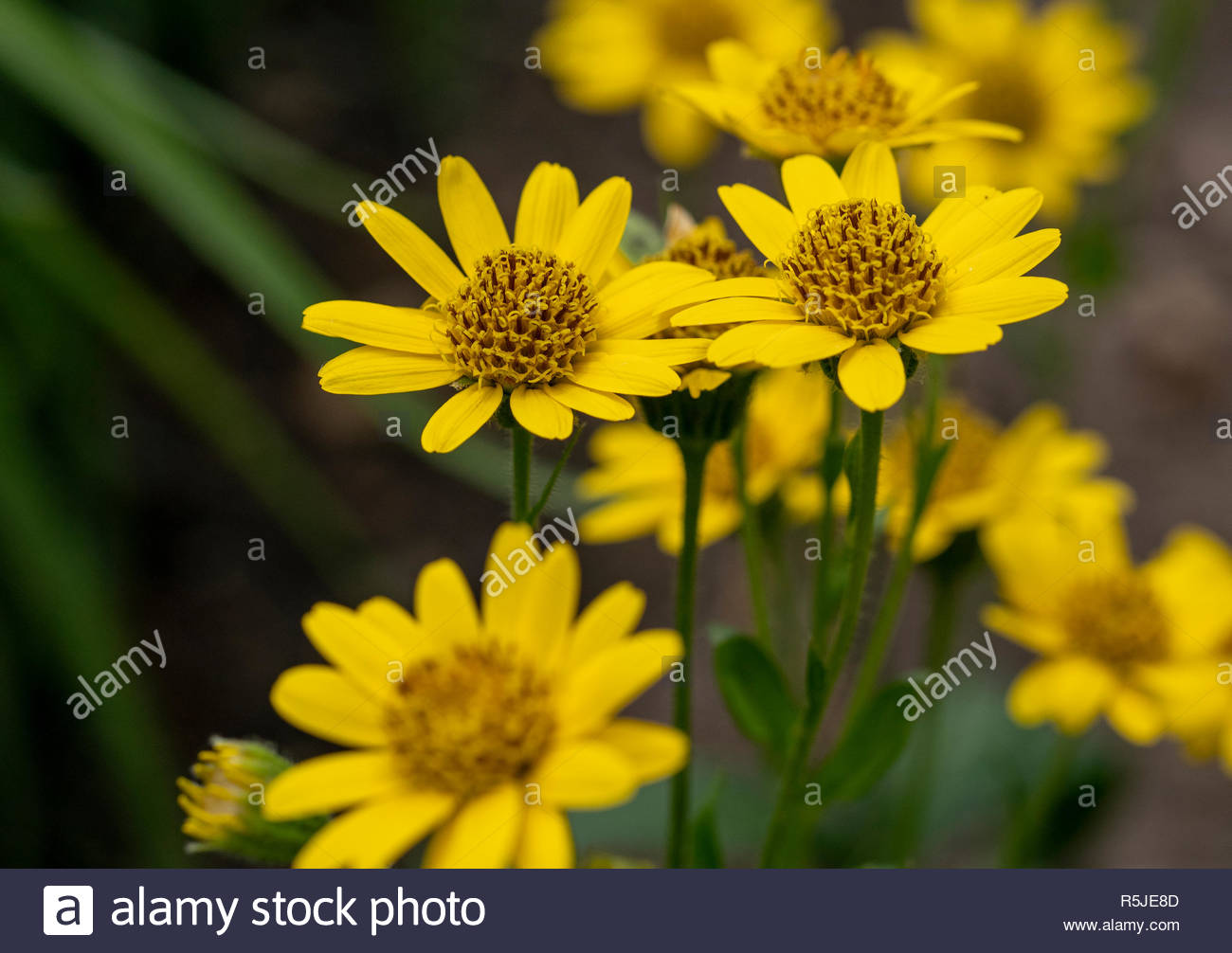 Close up of Arnica Montana flower in the dolomites  Great