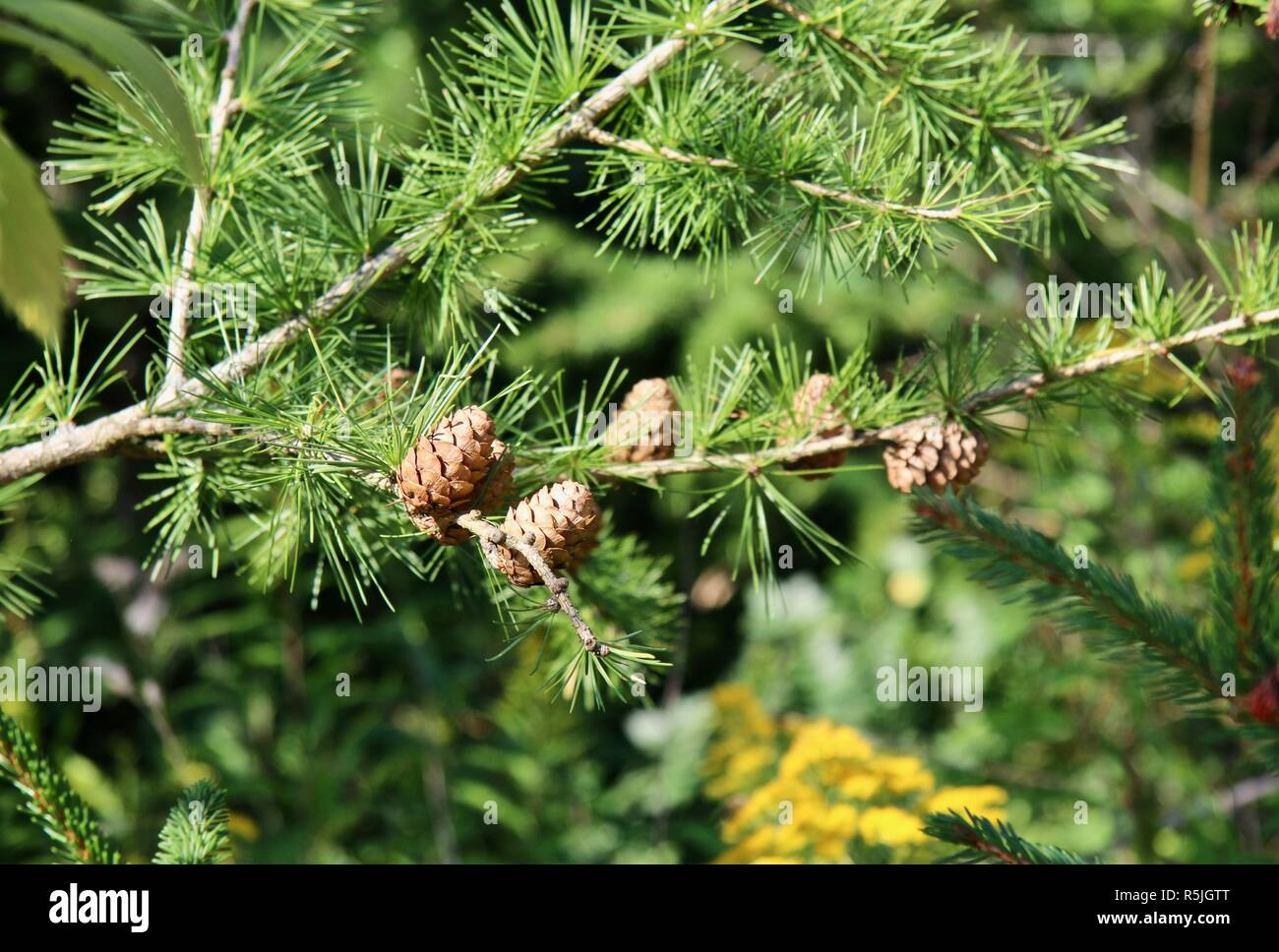 Small pinecones on a branch in the sunshine - Stock Image