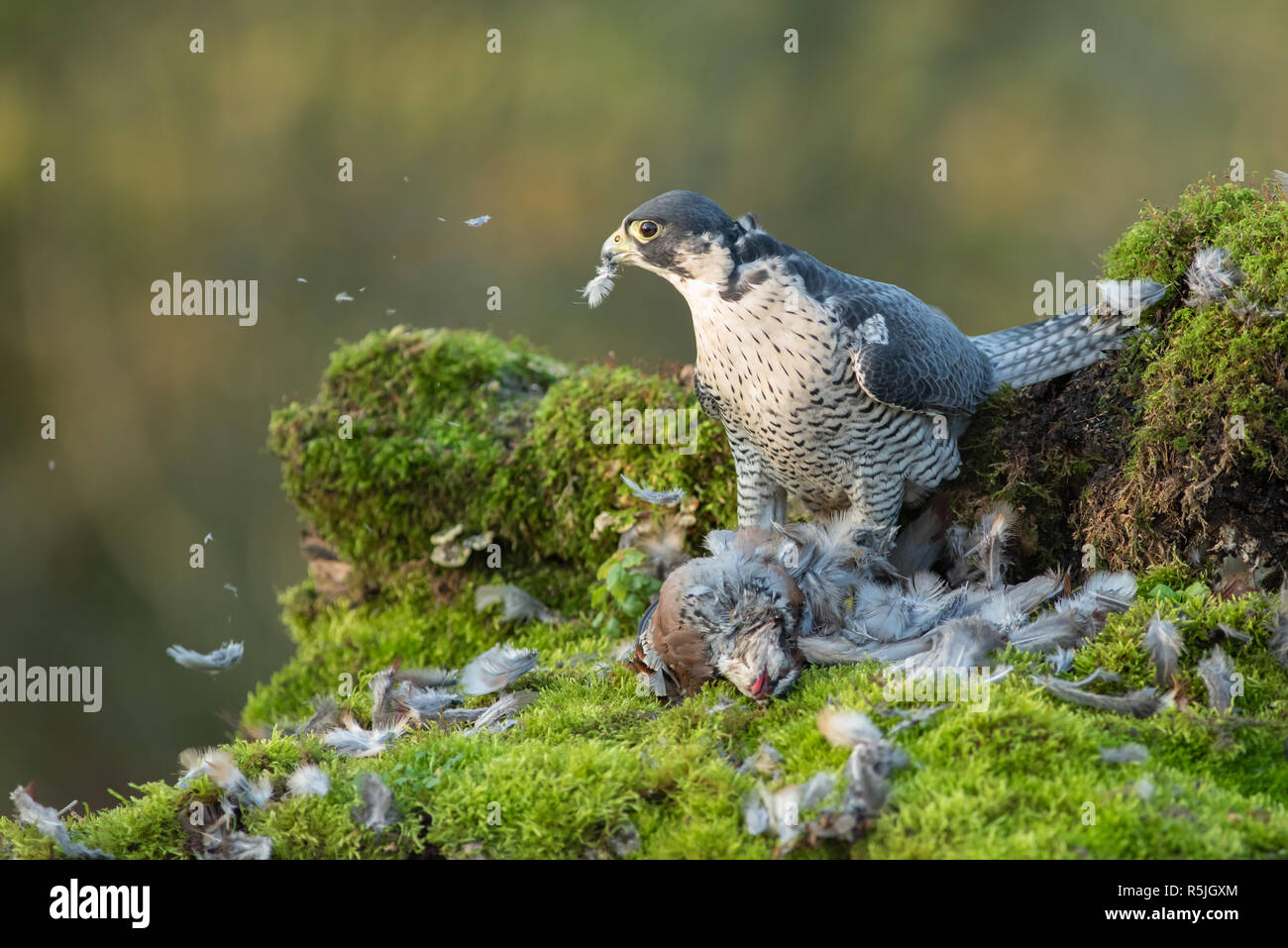 A peregrine falcon with its prey. The image shows the bird looking to the right over a dead partridge it has been plucking and eating Stock Photo