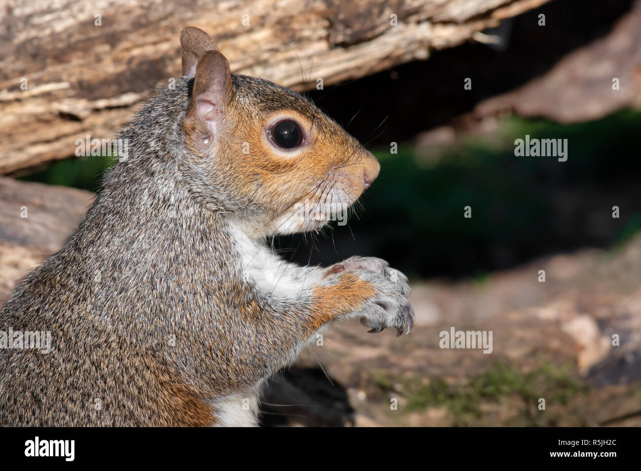 A very close half length profile portrait of a grey squirrel. It is staring intensely to the right. - Stock Image