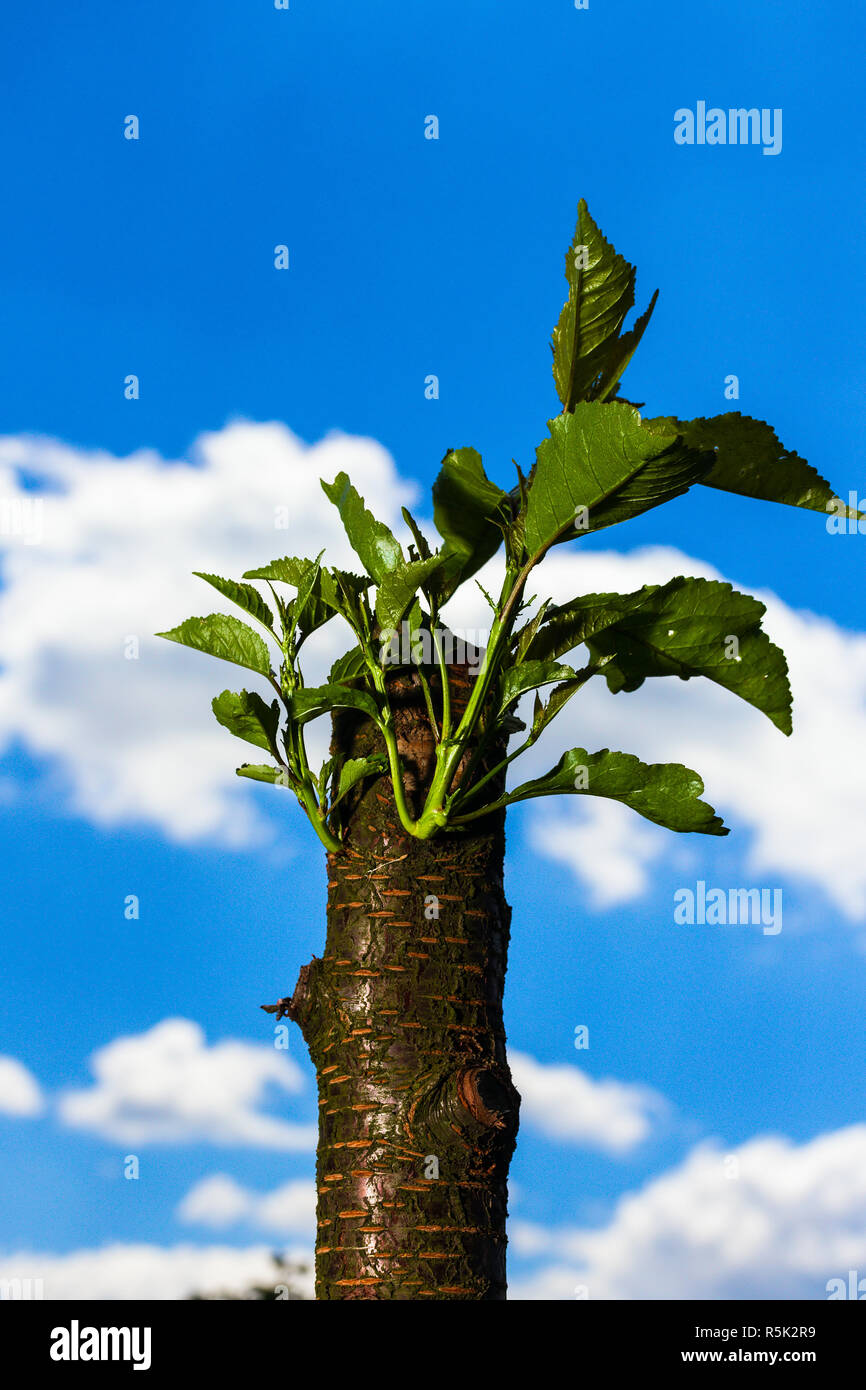 Revived cherry tree - Stock Image