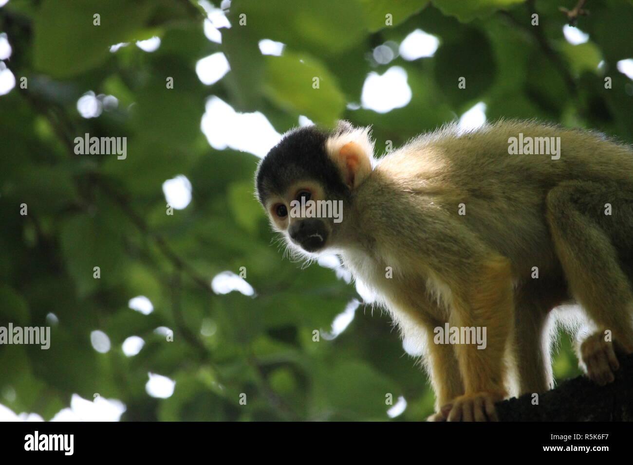 Die Totenkopfaffen oder Totenkopfäffchen (Saimiri) sind eine Primatengattung aus der Familie der Kapuzinerartigen. Stock Photo