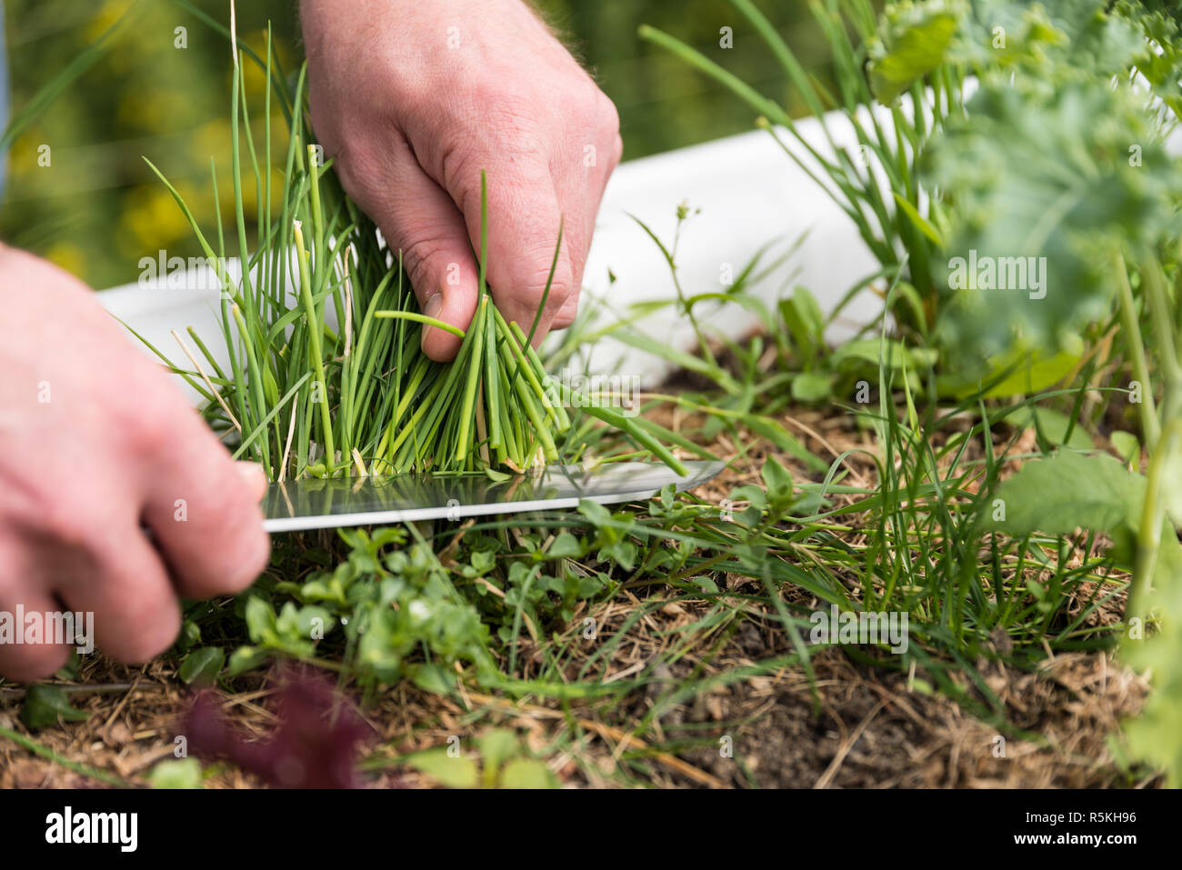 chive is harvested - close-up Stock Photo