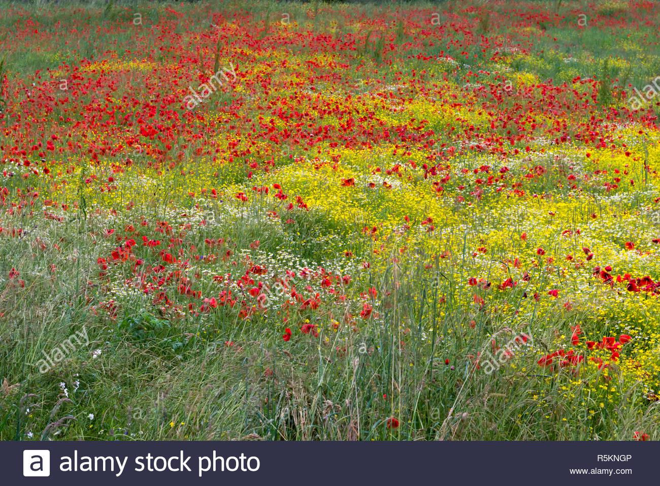 A field of spring flowers in Castiglione del Lago Province of Perugia Stock Photo