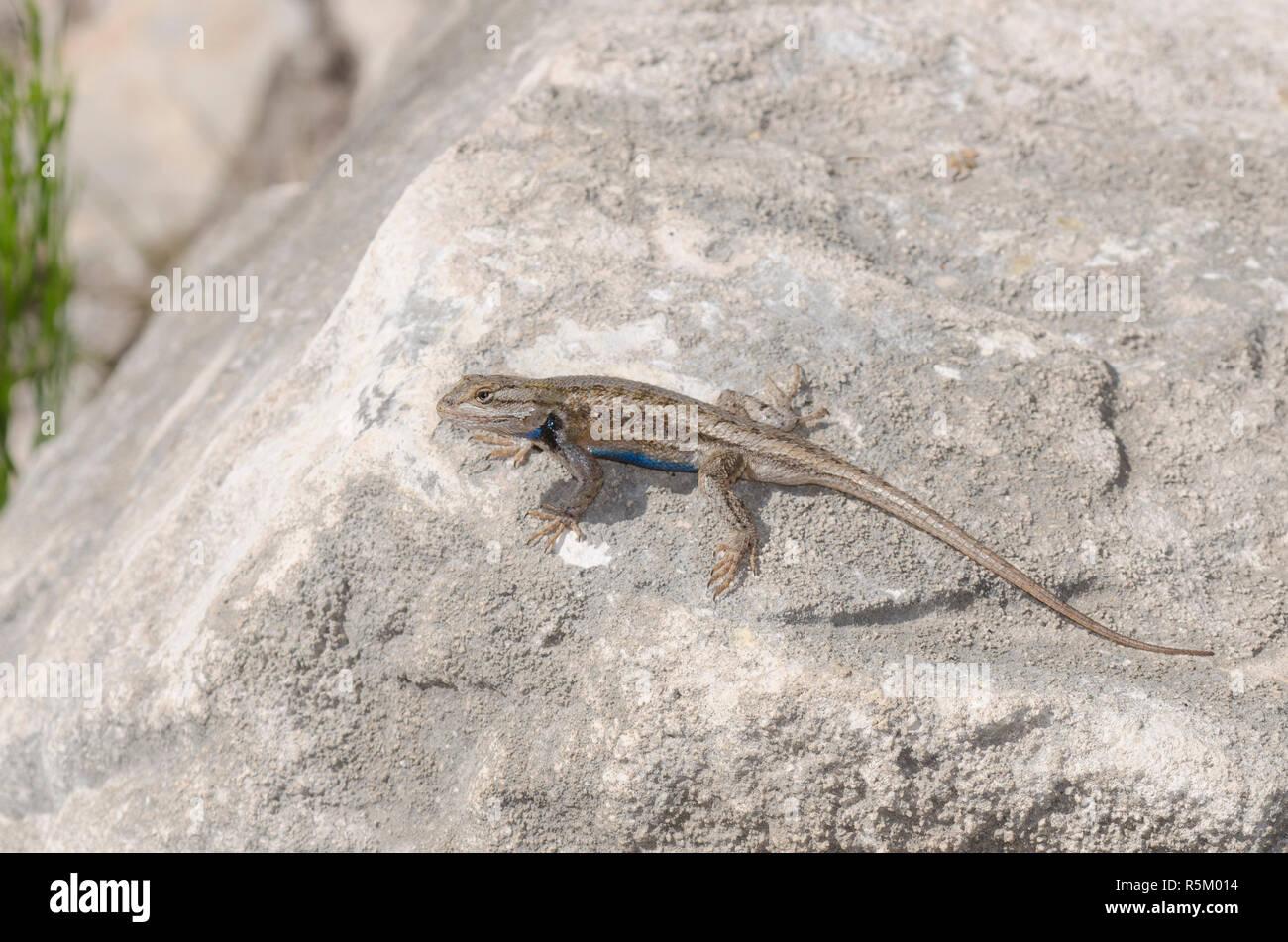 Plateau Fence Lizard, Sceloprus tristichus Stock Photo