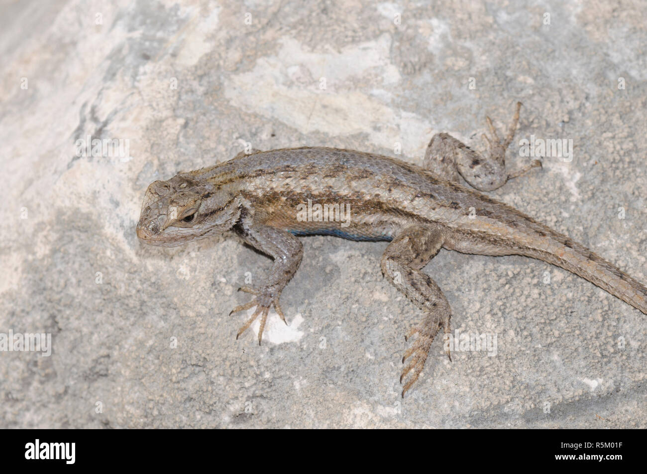 Plateau Fence Lizard, Sceloprus tristichus Stock Photo