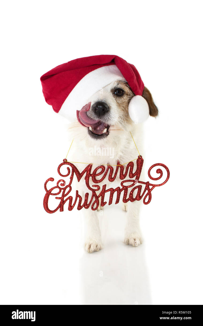 Christmas Dog Portrait Funny Jack Russell Puppy Wearing Red Santa
