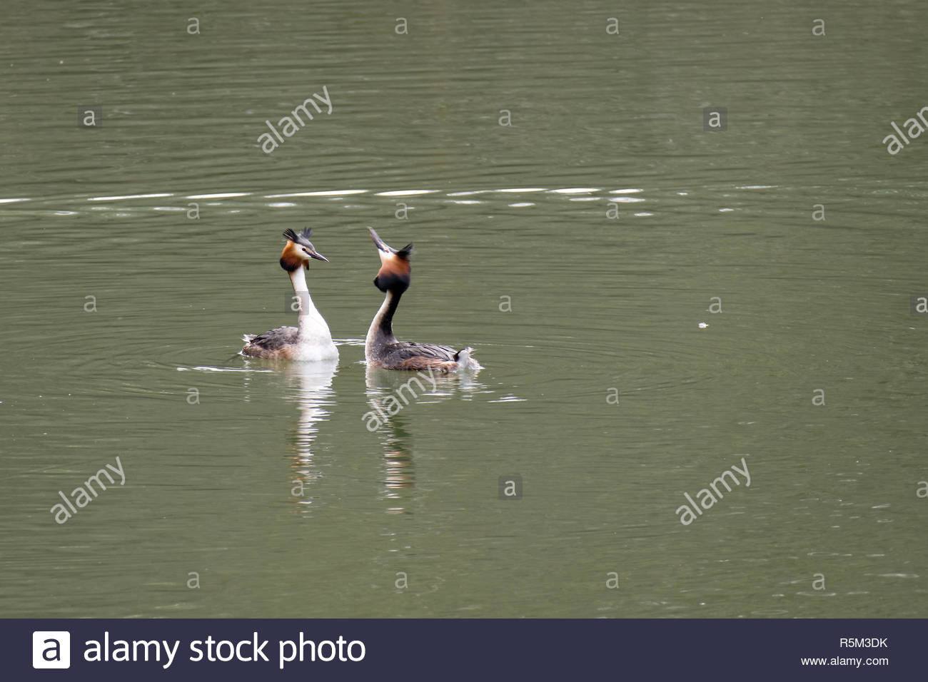 Great Crested Grebes  (podiceps cristatus) Stock Photo