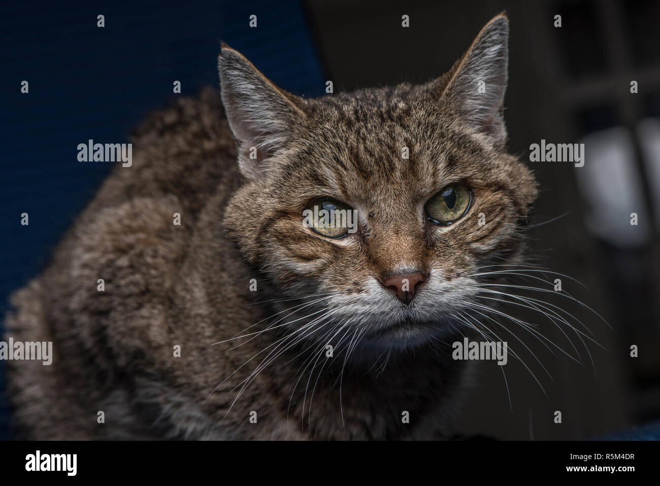 A tabby cat intently looking at something out of the frame of the photo. Stock Photo