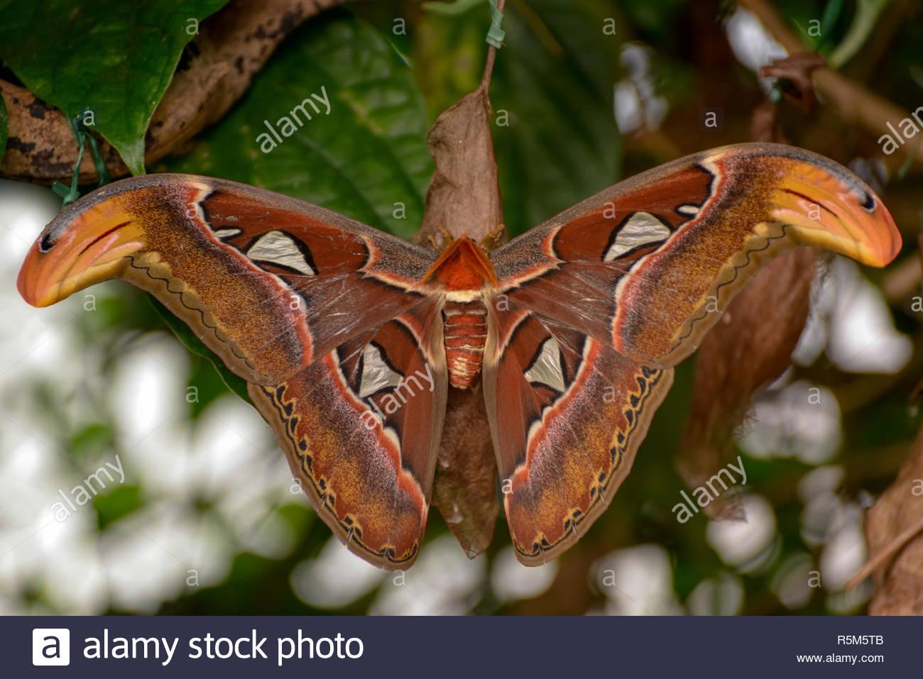Atlas Moth (Attacus atlas) - Stock Image