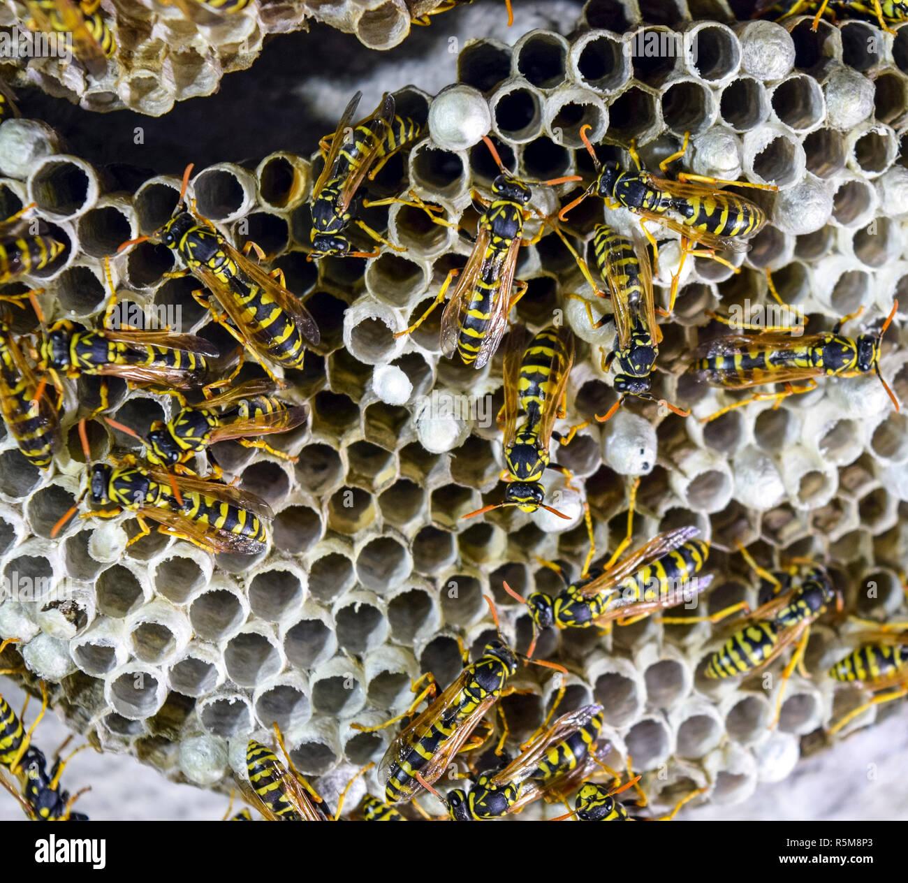 Wasps polist. Vespiary - Stock Image