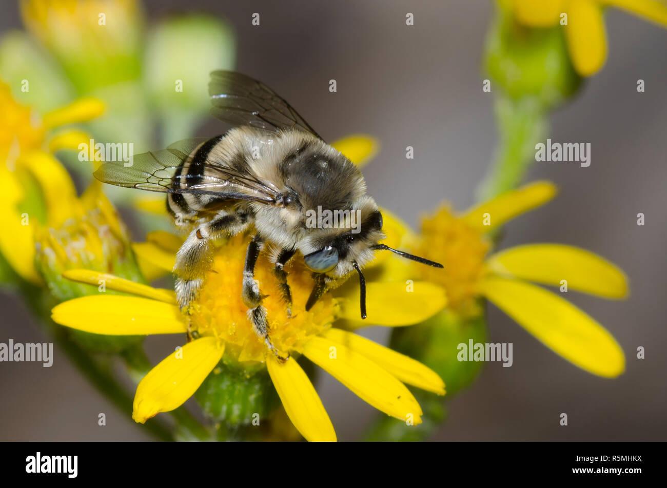 Anthophorine Bee, Anthophora urbana, foraging on yellow composite flower - Stock Image