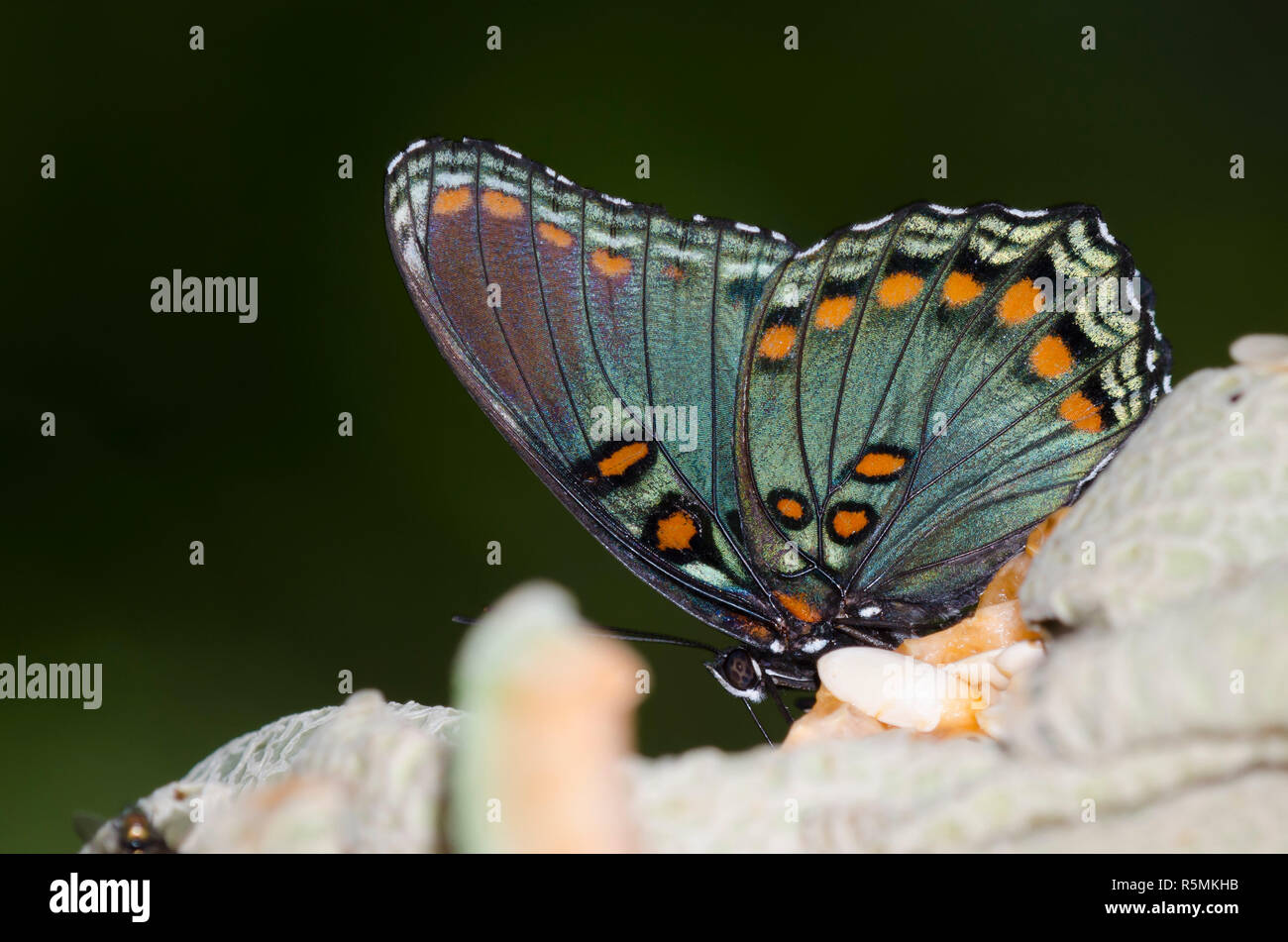 Red-spotted Purple, Limenitis arthemis astyanax, on fruit tray - Stock Image