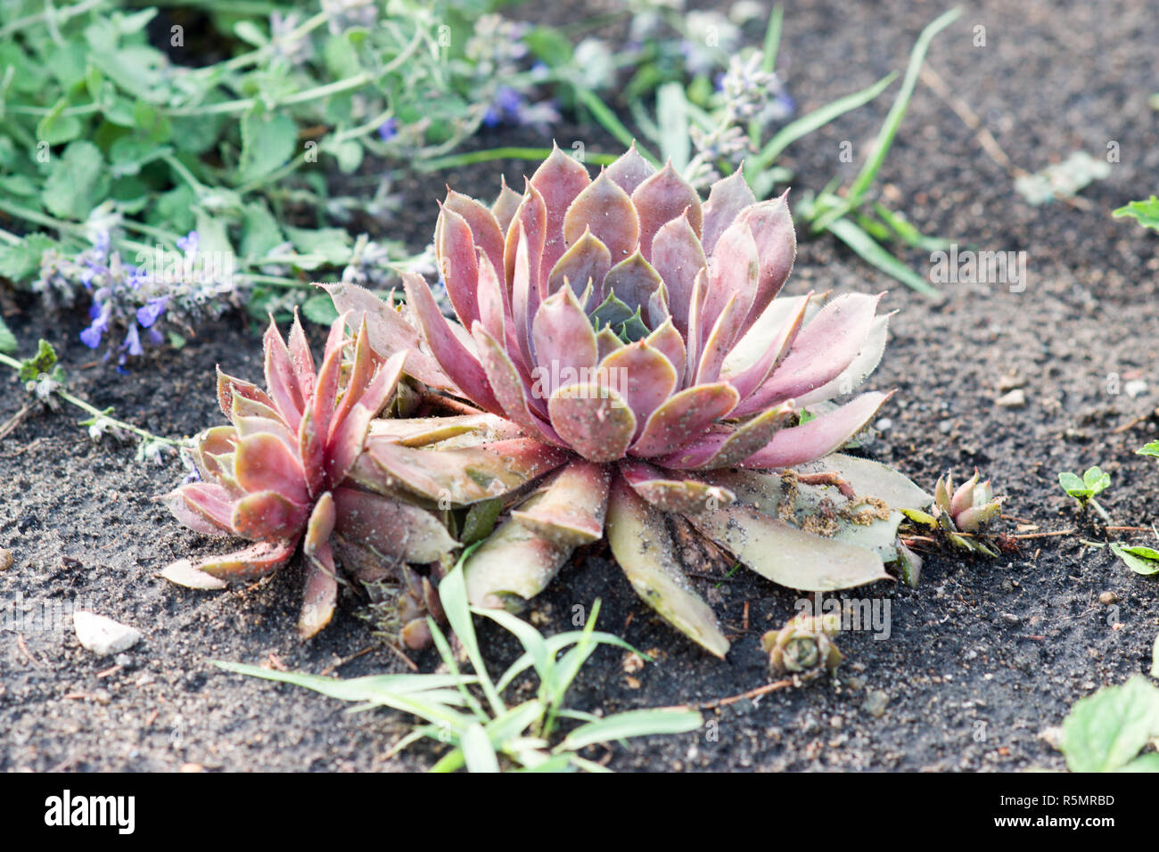 Jovibarba Rollers, Hens and Chicks (Jovibarba Hirta) - Stock Image