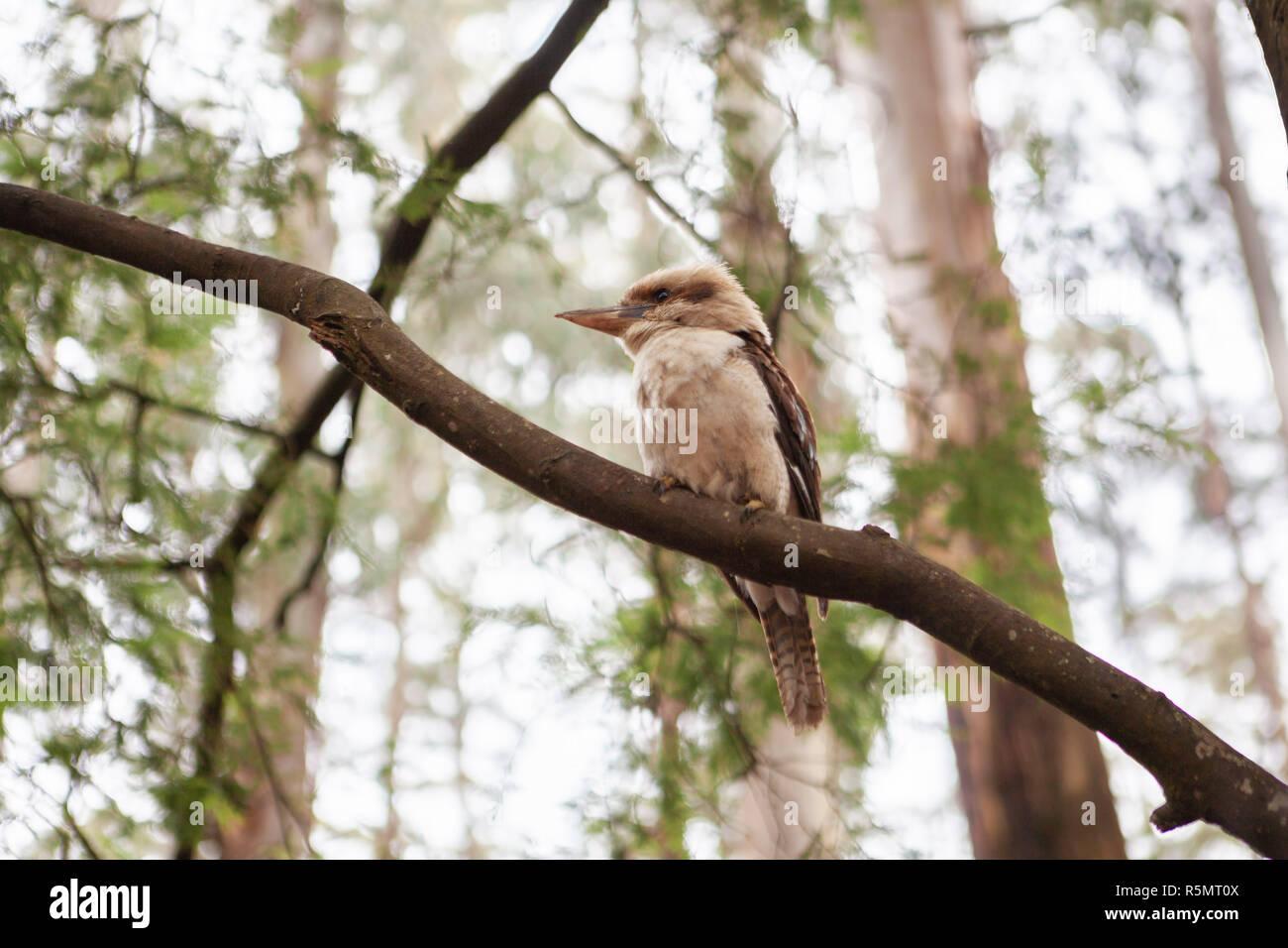 Kookaburra bird perching on a branch on blurred background - Stock Image